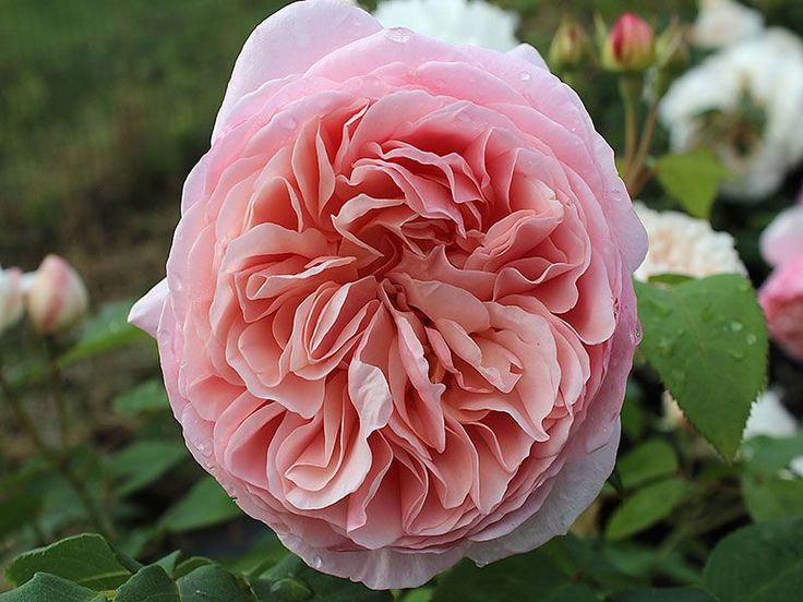 Englische Rose William Morris ® Auswill ® Züchter David Austin 1998