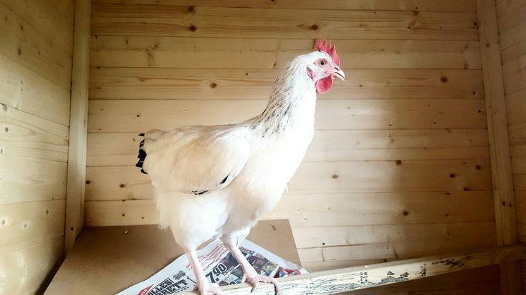 Sussex Weißes Huhn