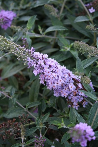Lilac Chip Butterfly Bush for sale buy Buddleia 'Lilac Chip' PPAF