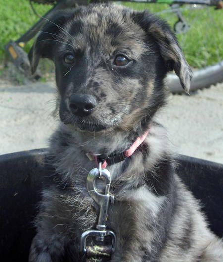 Lab/Australian Shepherd Mix --- will someone PLEASE get me this puppy??