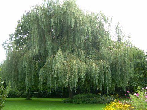 Treurwilg (Salix vitellina var. pendula)   MijnTuin.org