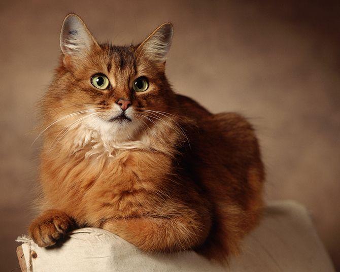 Самые красивые кошки в мире Somali