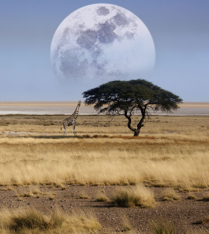 Africa | A giraffe at the edge of a salt pan in Etosha National Park, northern Namibia | © Steve Allen