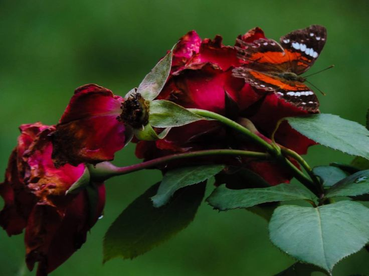 """(@jess_edel) no Instagram: """"#roses🌹 #butterfly #nature #amateur #photography #hobby #green #red"""""""