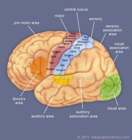 Simplified brain for stroke pt. reference - Broca's area, Wernicke's area, breakdown of the primary motor and sensory cortex, primary visual cortex, frontal lobe, etc.