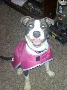 Adoptable Dog in Cleveland! Female Pitbull Mix, Age: 1-2ish