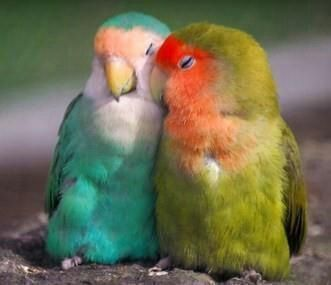 Love birds, my goodness the one on the right looks just like Fellow!