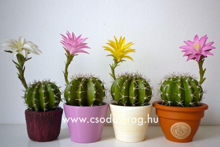 Echinopsis (Tengerisün kaktusz) - My clay flower https://www.facebook.com/Csodavirag