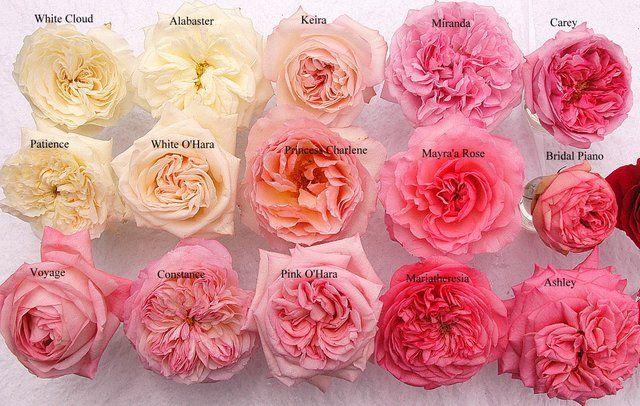 22 best flowers guide roses images on pinterest rose varieties garden roses and blush pink - Rose cultivars garden ...