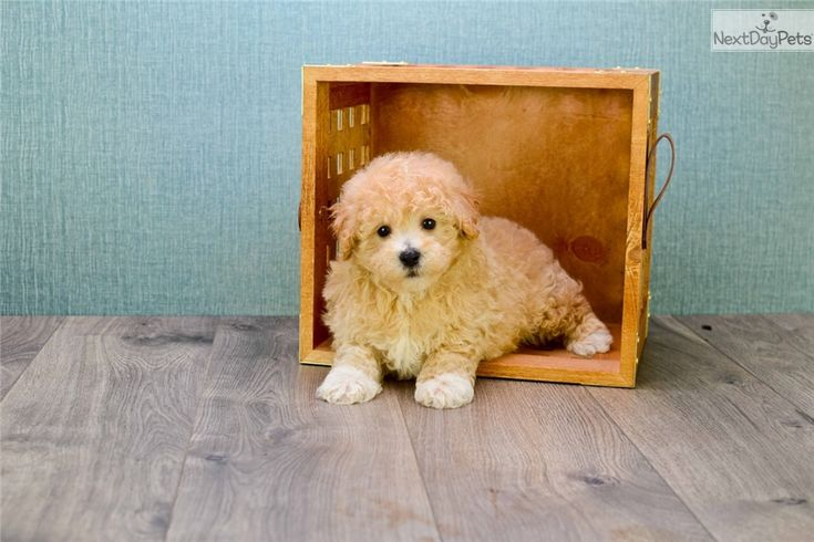 Cavapoo puppy for sale near Dallas / Fort Worth, Texas