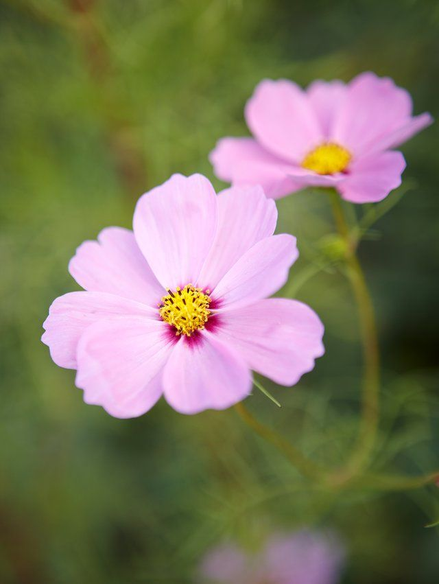Summer Birds Cannot Resist Cosmos Cosmos Bipinnatus Especially Once The Golden Stamens Give Way To Seeds Cosmos Ar Late Summer Flowers Plants Showy Flowers