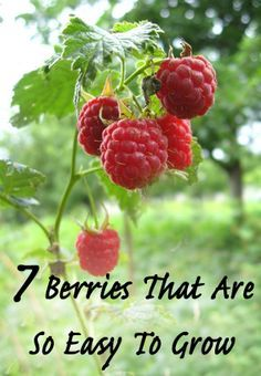 1. Strawberries. Everybody loves strawberries picked straight from the garden. They are so versatile that they can be grown in containers, hanging baskets, Flower Pouches and window boxes, or plant...
