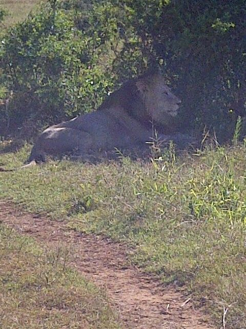 Make Lion - Addo Elephant Park