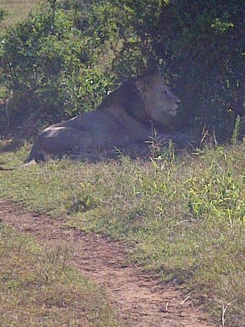 Make Lion - Addo Elephant Park