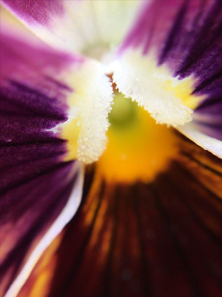 15X Macro of Purple Pansy