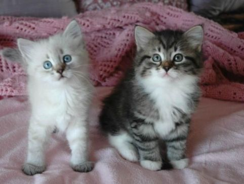 8 best images about hypoallergenic cats on pinterest for Koi pond maine coon cattery