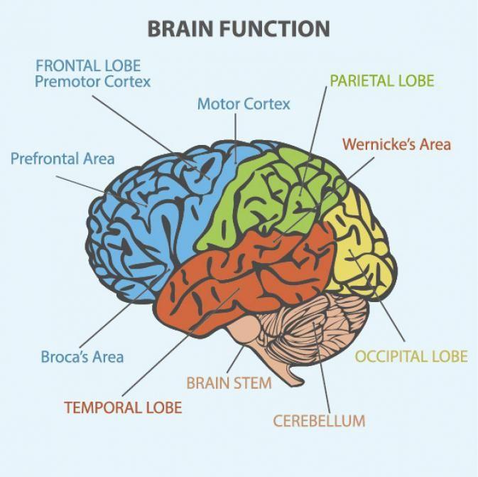 brain functioning table