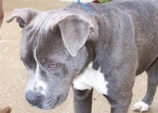 blue-nose-pitbull-puppy