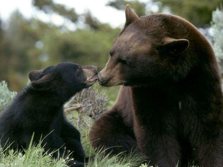 Amerikan kara ayısı  ile yavrusu