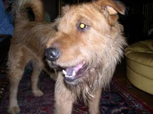 Picture of ROCCO, a male Chinese Shar-Pei/Airedale Terrier