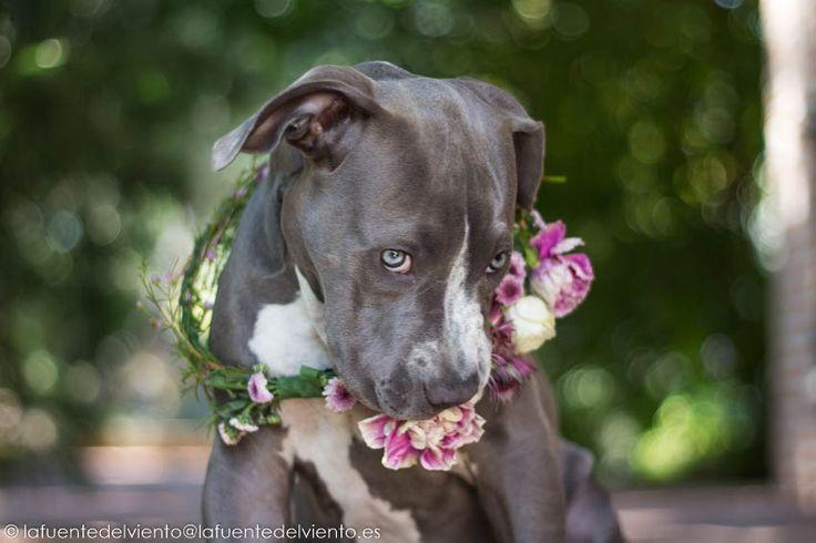 Un precioso American Staffordshire Terrier jugando con una coronita de flores que le pusieron las niñas