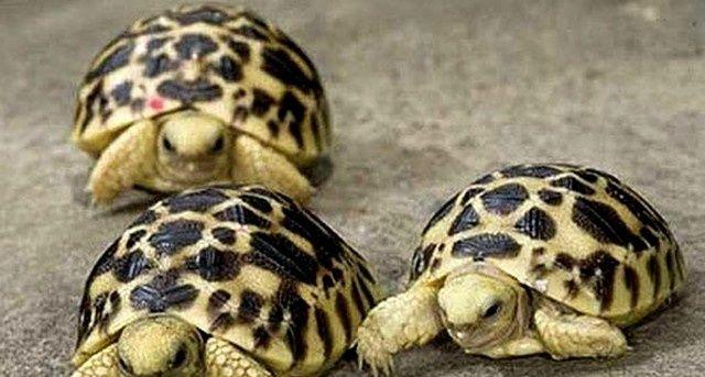 BIE'  FAUNA & FLORA ANGOLA | Madagáscar: Cidadã russa tenta traficar 50 filhotes de tartaruga