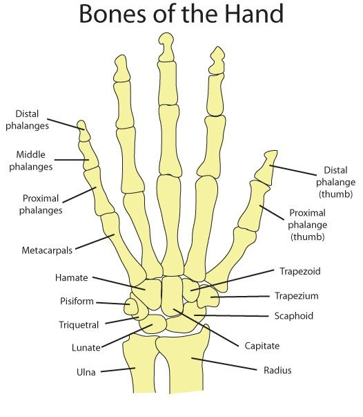 25+ best ideas about human hand bones on pinterest | hand bone, Human Body