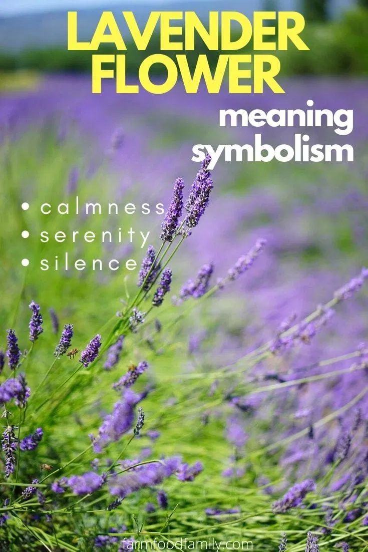 Lavender Flower Colors Meaning And Symbolism Beautiful Versatile Herb In 2020 Lavender Flowers Lavender Meaning Meant To Be