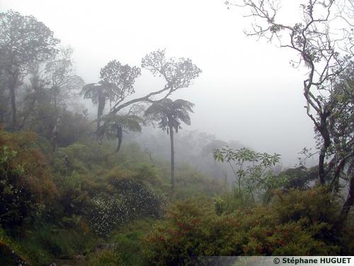 Foret primaire, Ile de la Réunion