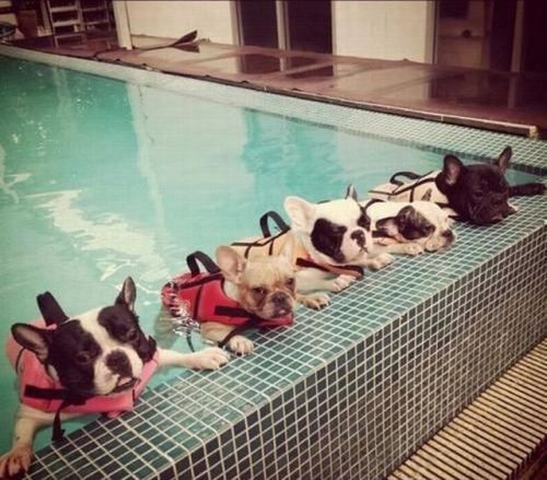 Frenchie's Swim SchoolSwimming Lessons, French Bulldogs, Keep Swimming, Water Aerobics, Swimming Parties, Pools Parties, Safety First, Swimming Team, Animal