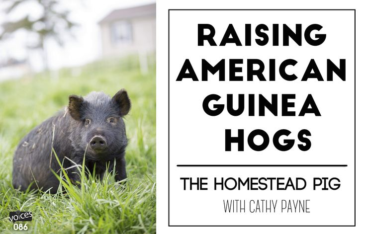 Information on the American Guinea Hog