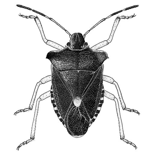 drawings of insects | Drawing of Red-legged Shieldbug, Ink on Bristol™ Scraperboard
