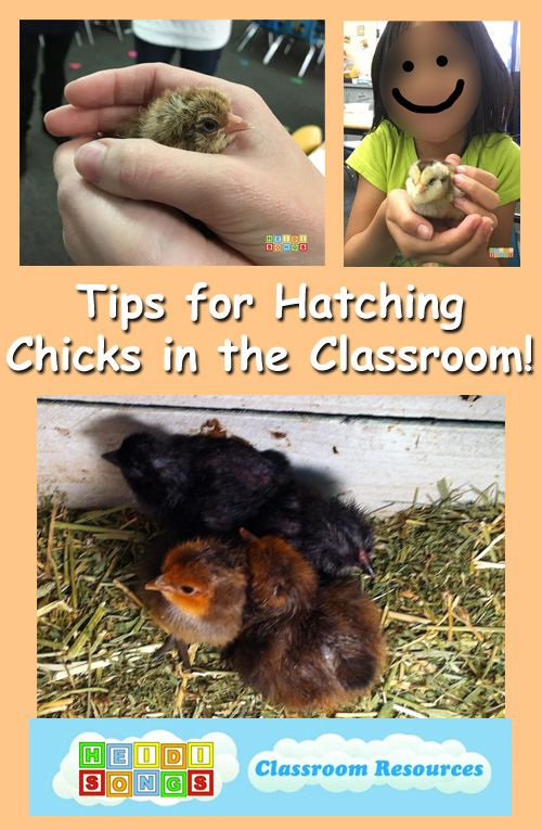 Tips for Hatching Chicks in the Classroom! - HeidiSongs #science
