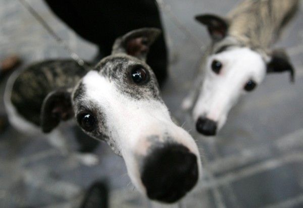 rescue a greyhound <3 .... so getting one when i get my own place