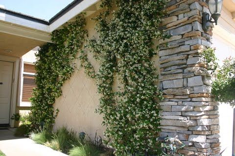 Greener Designs: How To Care For Star Jasmine (Trachelospermum jasminoides)