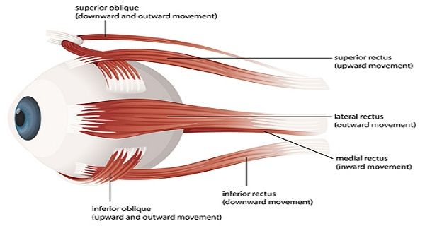 illustration of the muscles of the human eye | ears/eyes/noese, Muscles