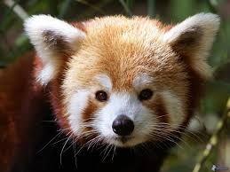 pandas rojos - Buscar con Google
