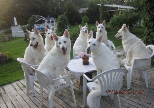 Could you imagine 7 Elizabeths? @Veronica Navarrete: Germanshepherd, Dogs Parties, Dinners Time, Funny Pictures, White German Shepherd, Funny Photos, Gardens Parties, Teas Parties, Animal Memes