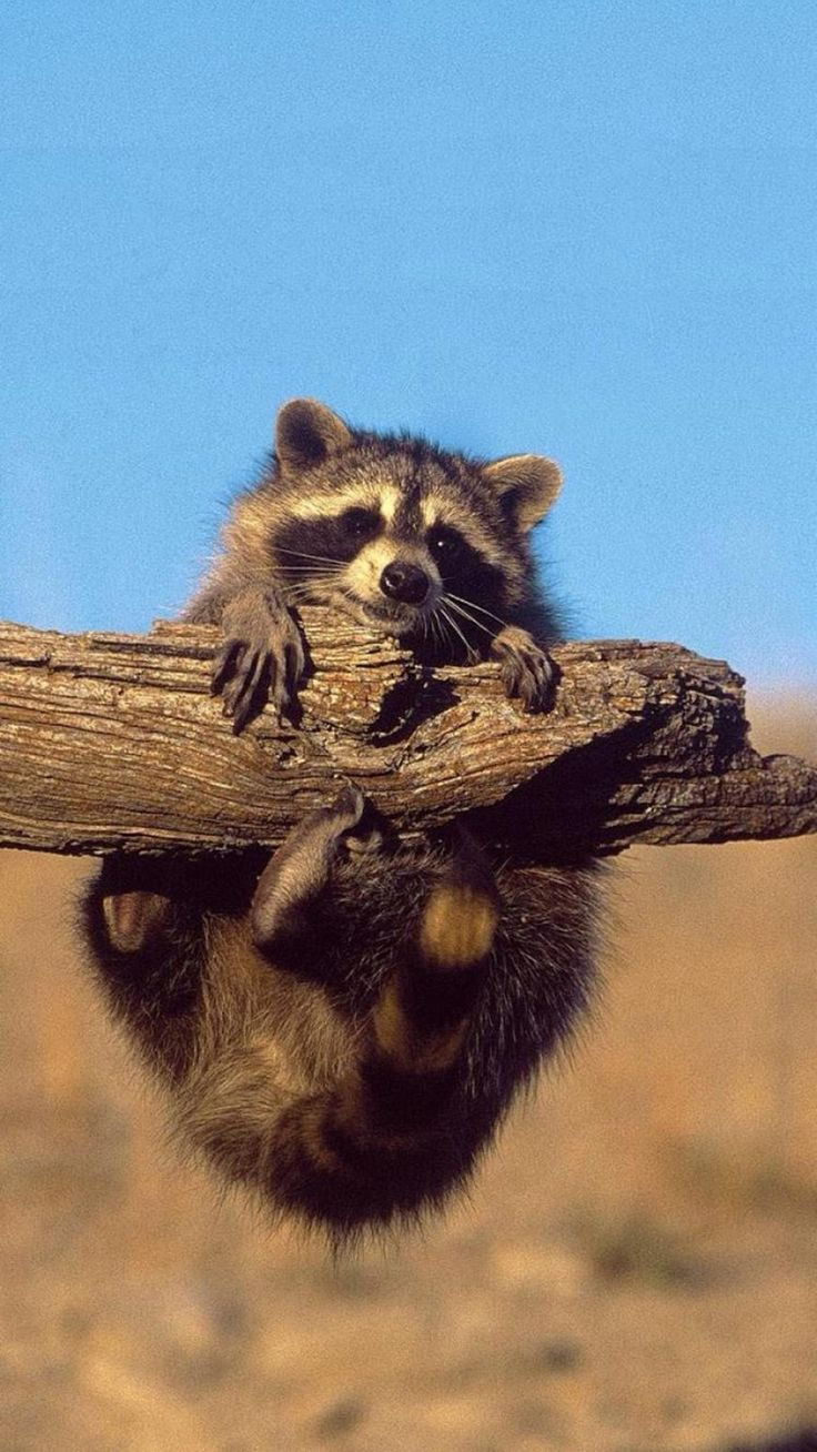 173 best racoons images on pinterest wild animals racoon and