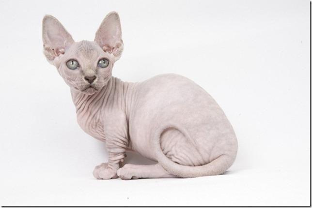 bambino cat Mikisanukis Fabulous Katten