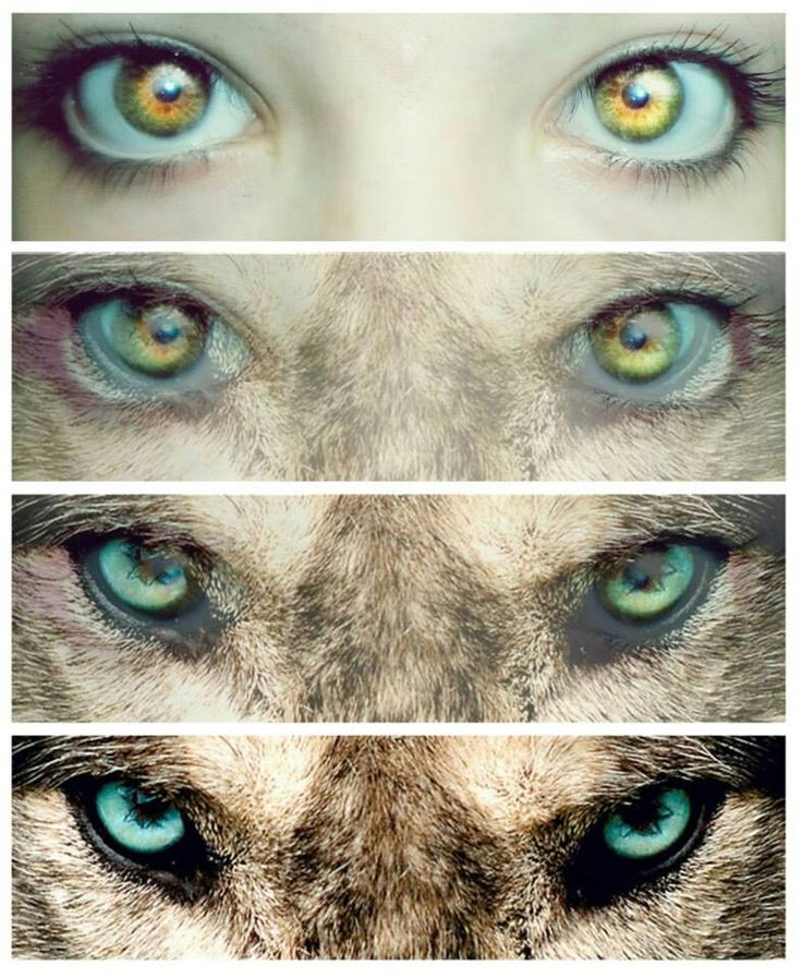 Eyes of wolf
