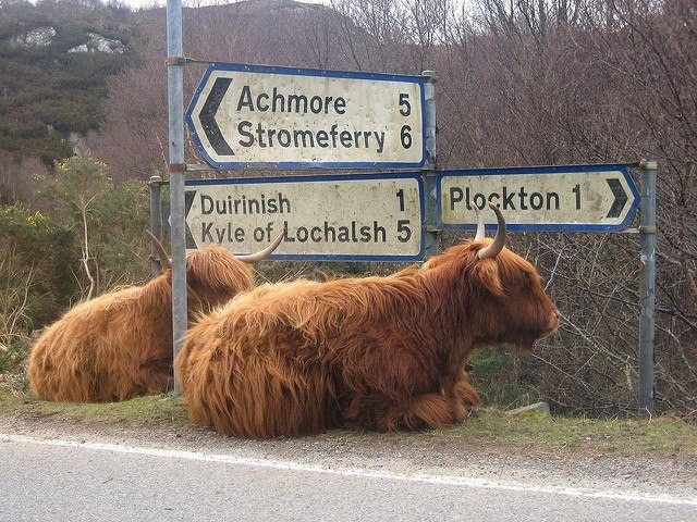 Just hangin' out. Been there! Where it says Plockton 1 1/2 miles....it's a dirt road through fields of these Highland cows but well worth it. Plockton is so quaint.