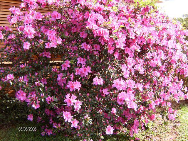 45 best arbustos con flores images on pinterest shrubs - Arbustos con flores ...