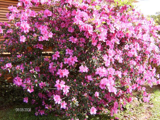 45 best images about arbustos con flores on pinterest - Arbustos de flor ...