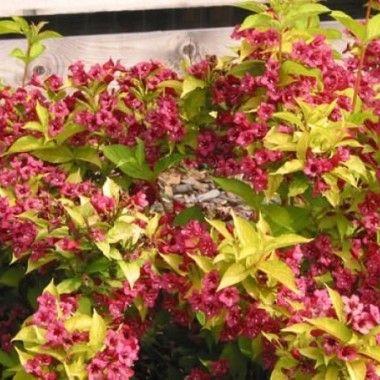 weigela bristol ruby arbuste d 39 ornement planter en massif ou en haie 1 5 m tre de haut. Black Bedroom Furniture Sets. Home Design Ideas