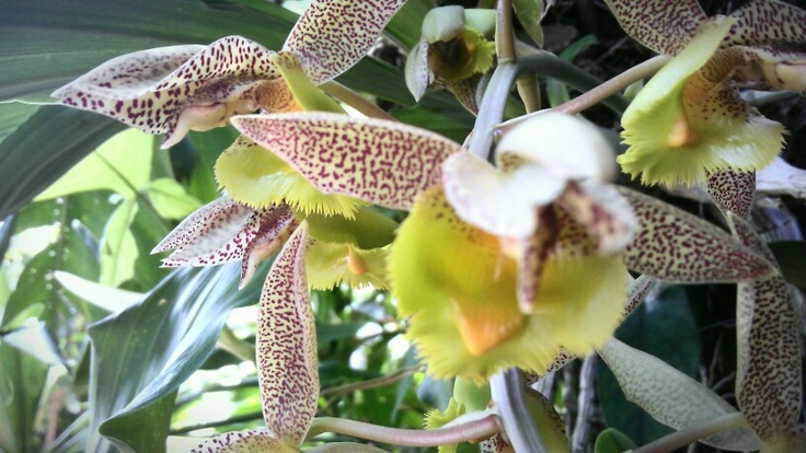 Beautiful tiger orchids