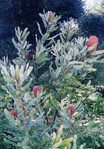 Banksia menziesii • Australian Native Plants reports this species has a twisted trunk with thick bark.