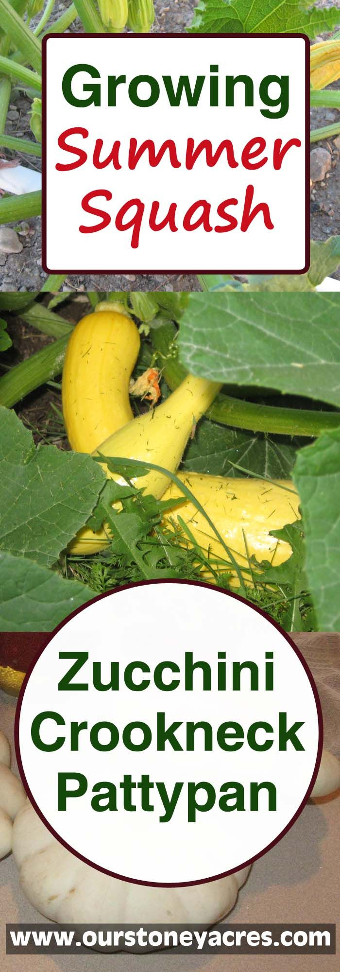 Growing Summer Squash is a great thing for many new gardeners to begin with.  These easy to grow and productive squashes are a great addition to any garden!