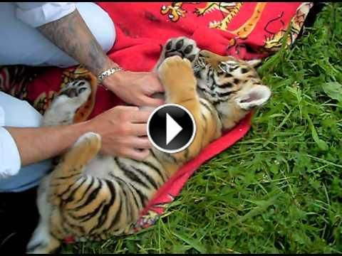 1000 images about animaux sauvages on pinterest mom - Bebe tigre mignon ...
