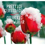 RK rode tulpen